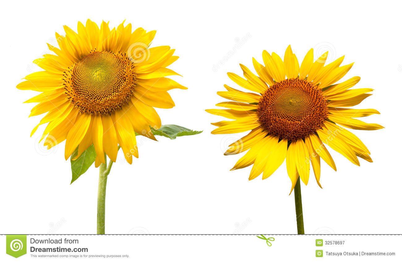 Sunflower In A White Background Royalty Free Stock ...