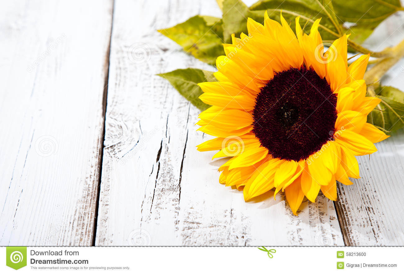 Sunflower On White Wooden Background Stock Photo