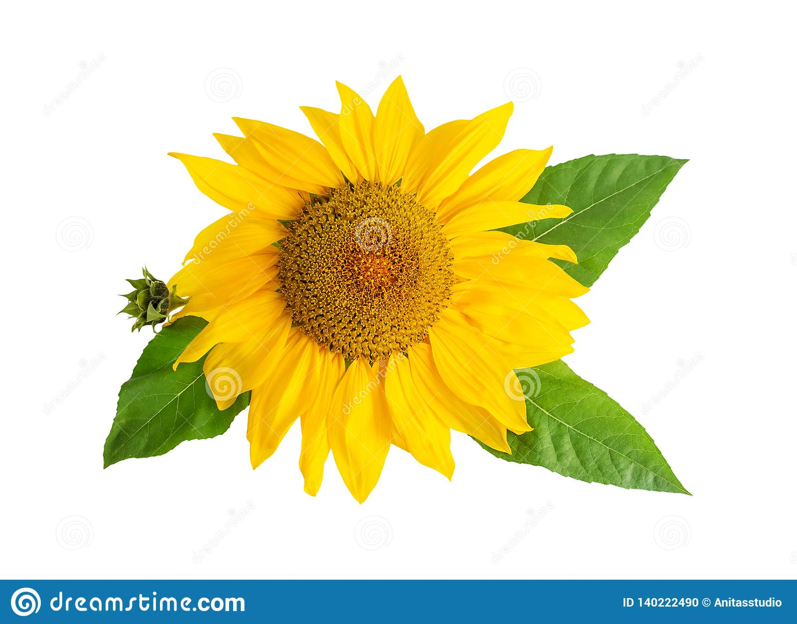 Sunflower yellow flower head with leafs isolated on white