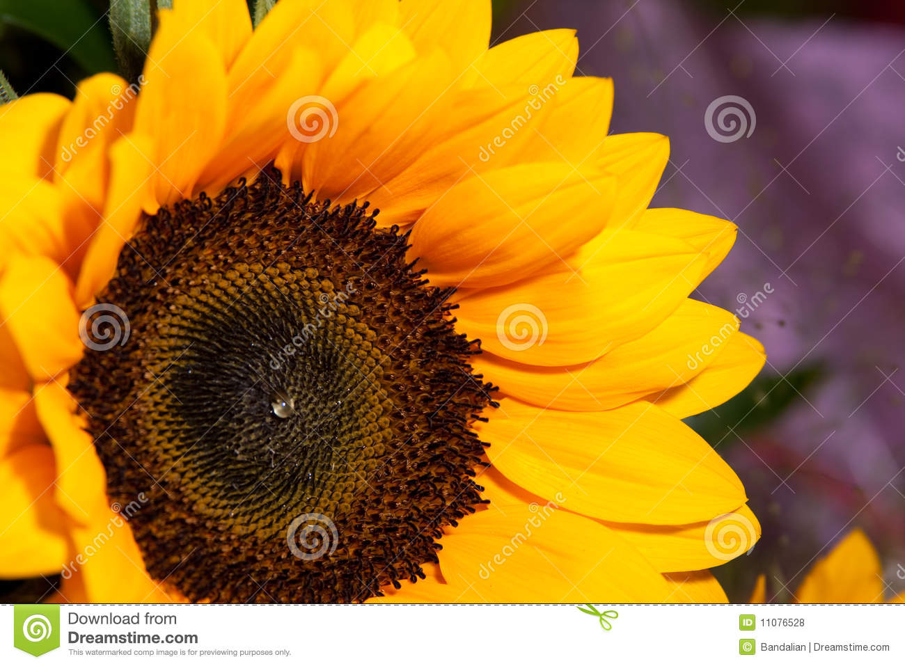 Download Sunflowers stock photo. Image of petals, bright, beauty - 11076528