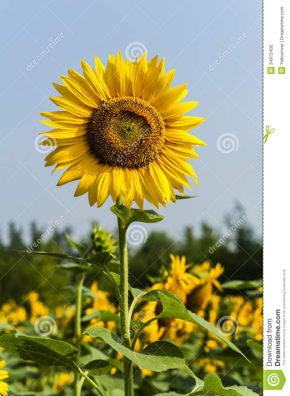 sunflower field picture blooming - photo #20