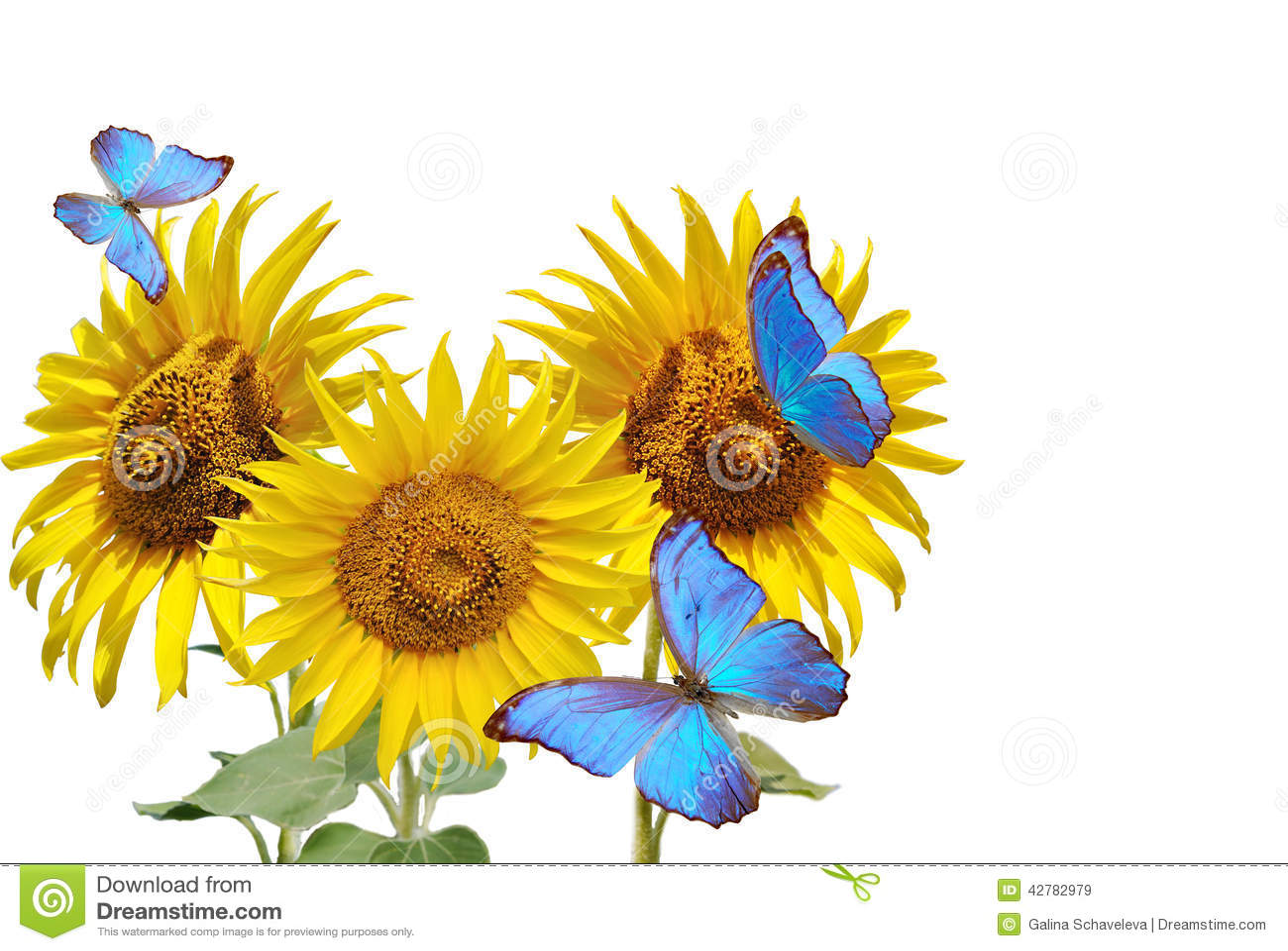 Blue Butterfly On Sunflower | www.pixshark.com - Images ...