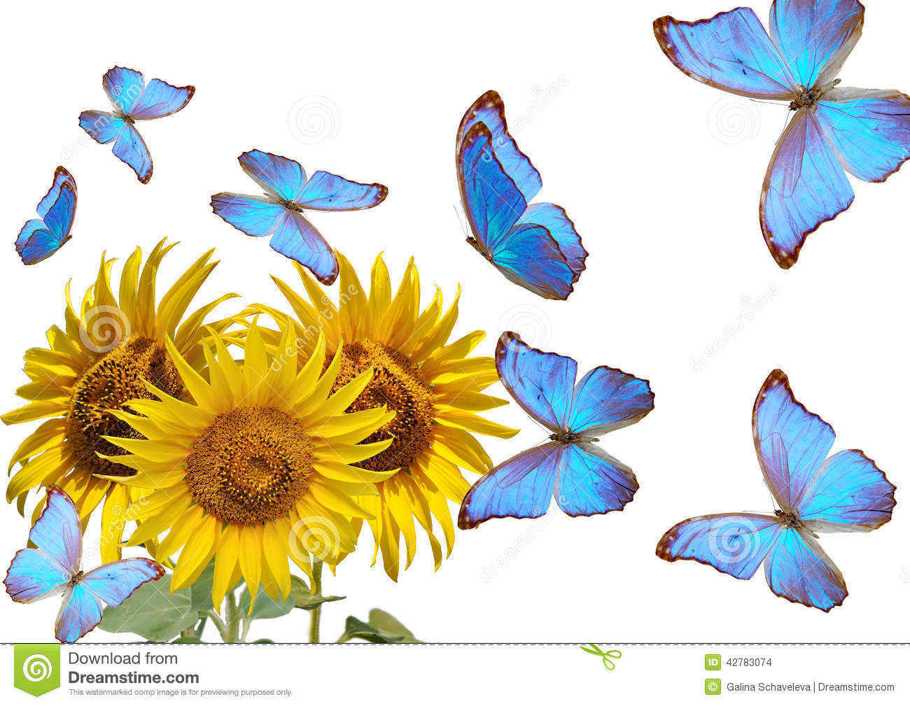 Sunflowers And Blue Butterfly Stock Photo - Image: 42783074