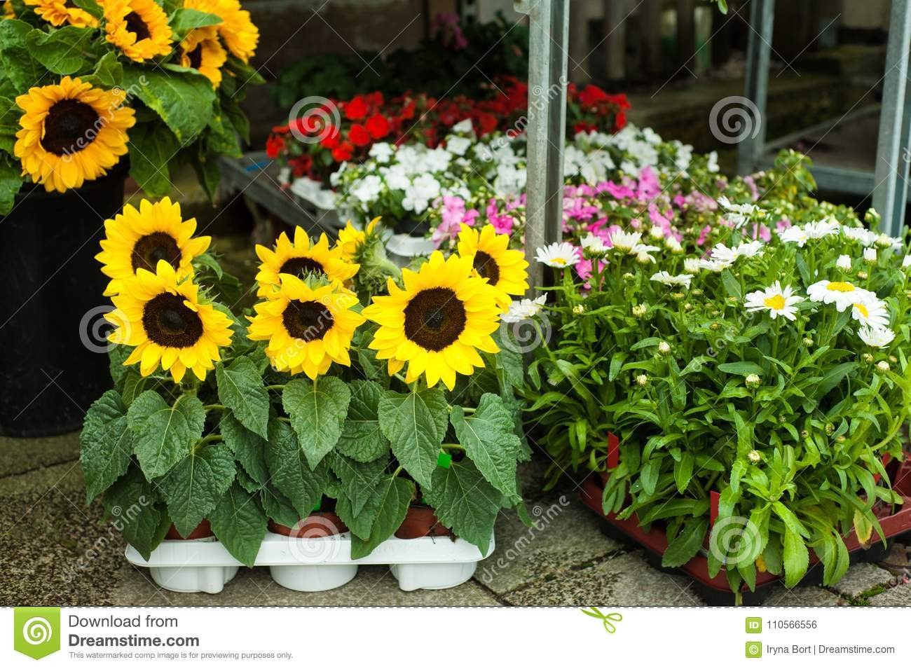 Sunflowers and daisies in flower shop stock photo image of daisy sunflowers and daisies in flower shop stock photo image of daisy bunch 110566556 izmirmasajfo