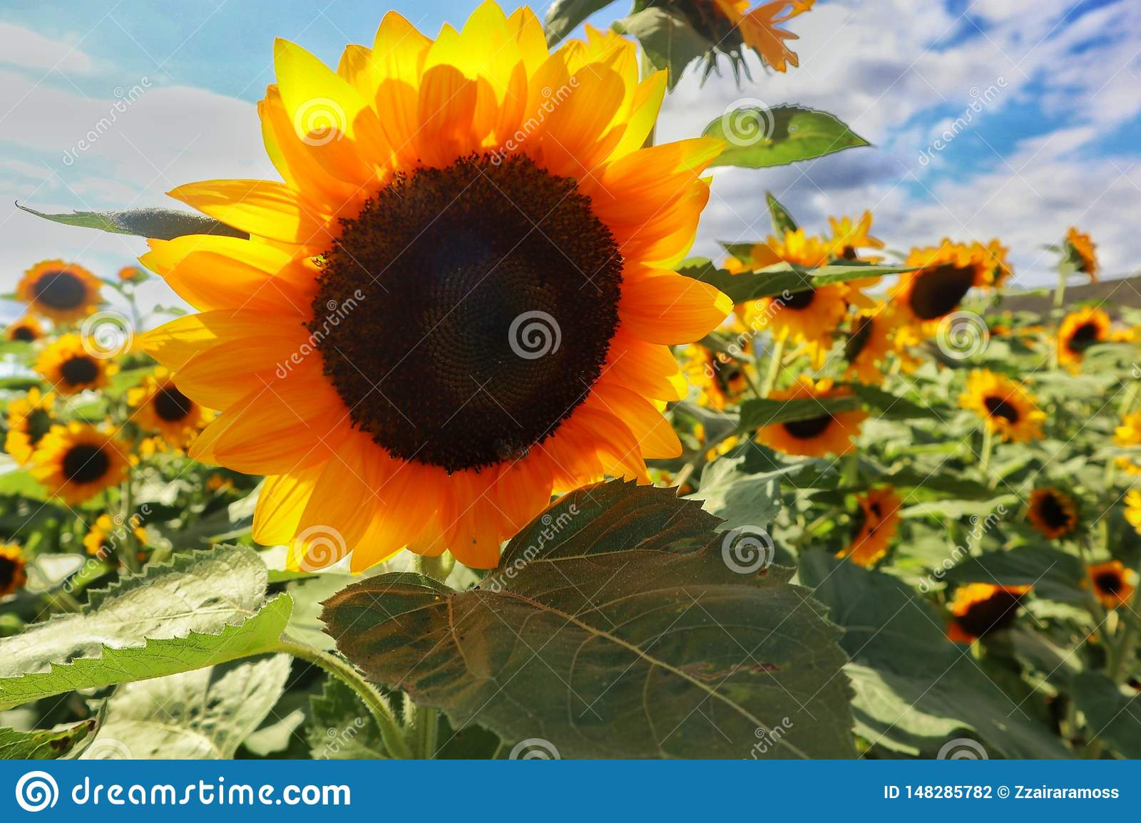 Sunflowers Farm in Puerto Rico