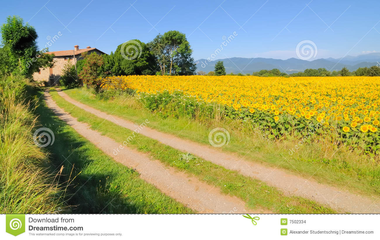 Sunflowers and farmhouse no.1