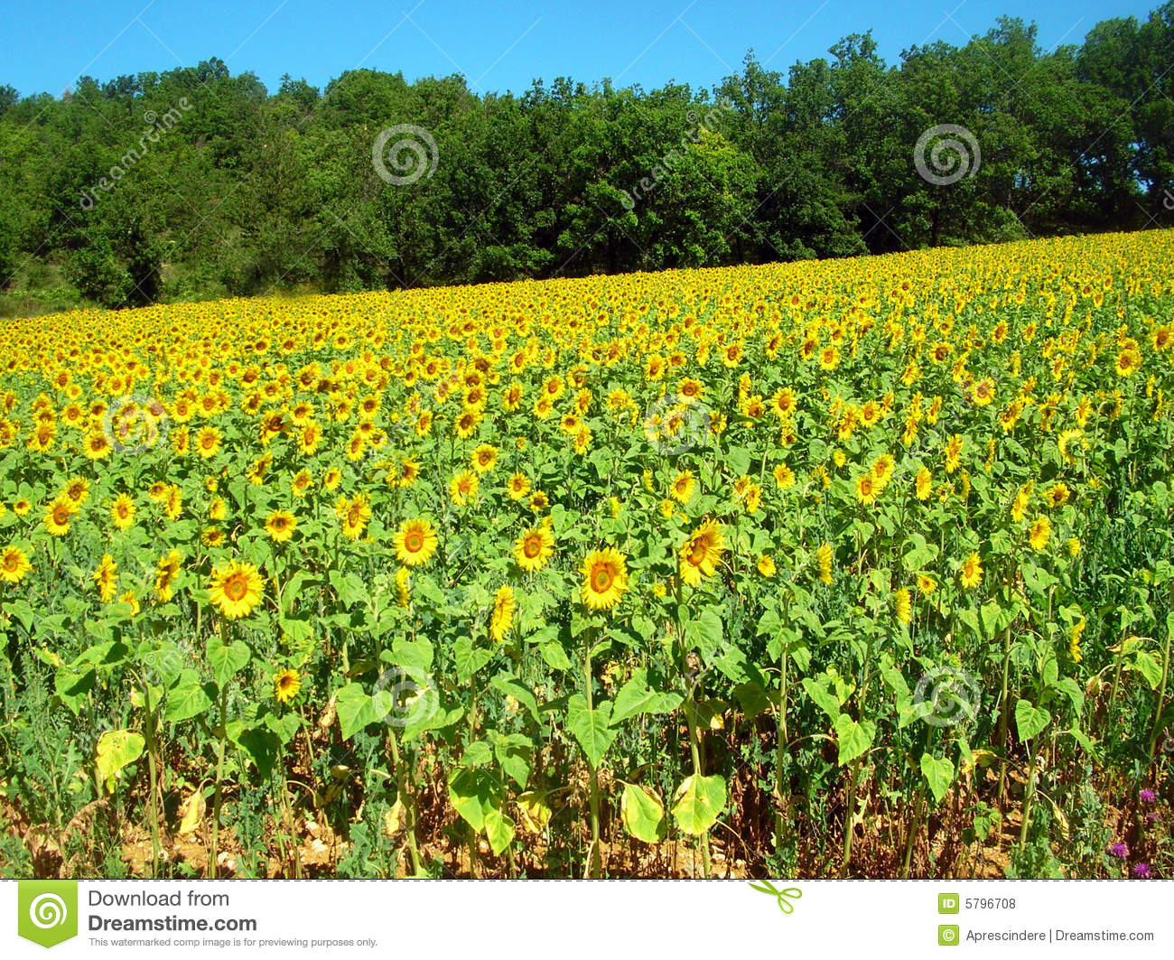 Download Sunflowers field stock photo. Image of hill, color, flower - 5796708