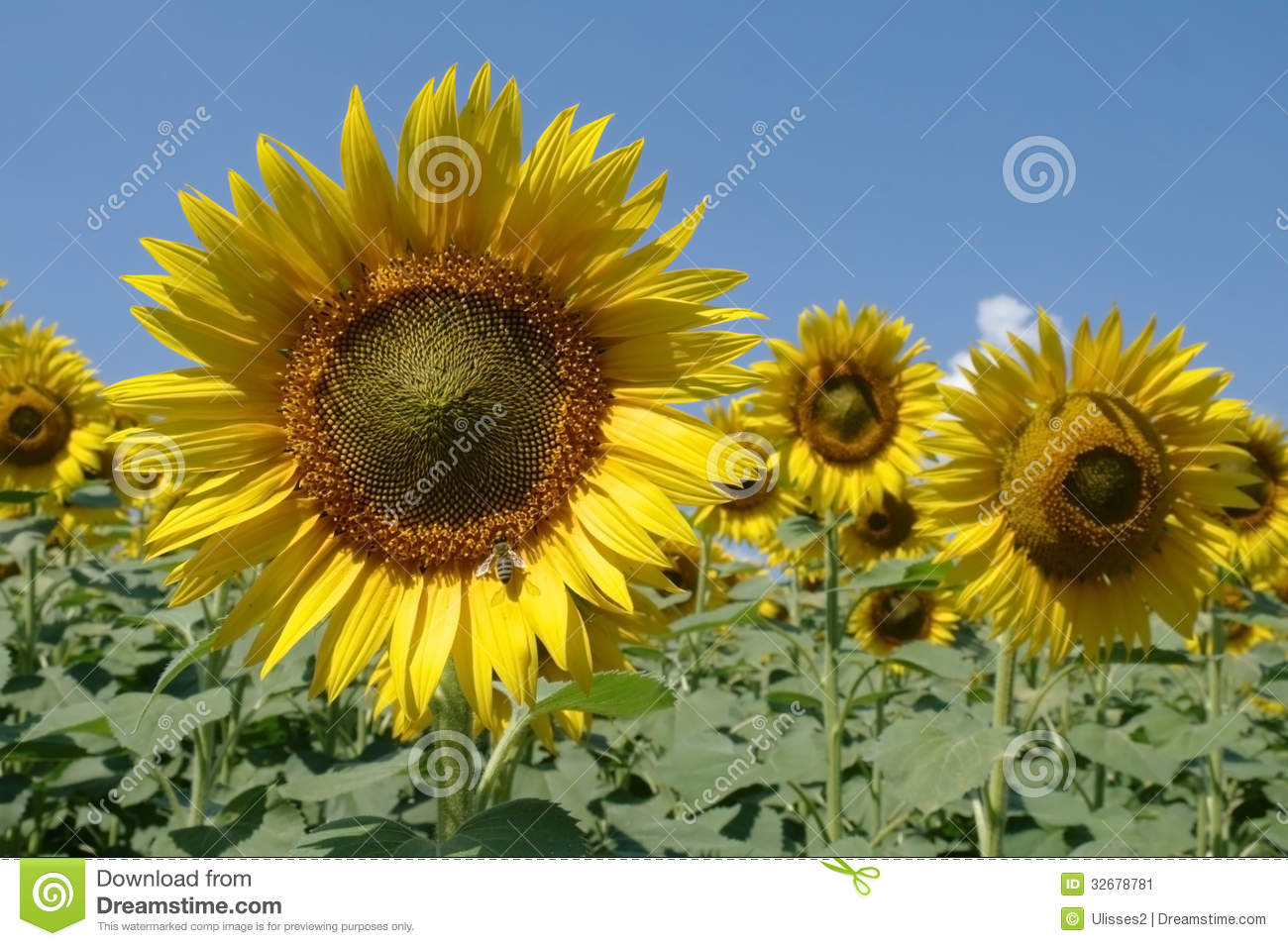 Pin Sunflower Field Beautiful Clouds Colors Flower