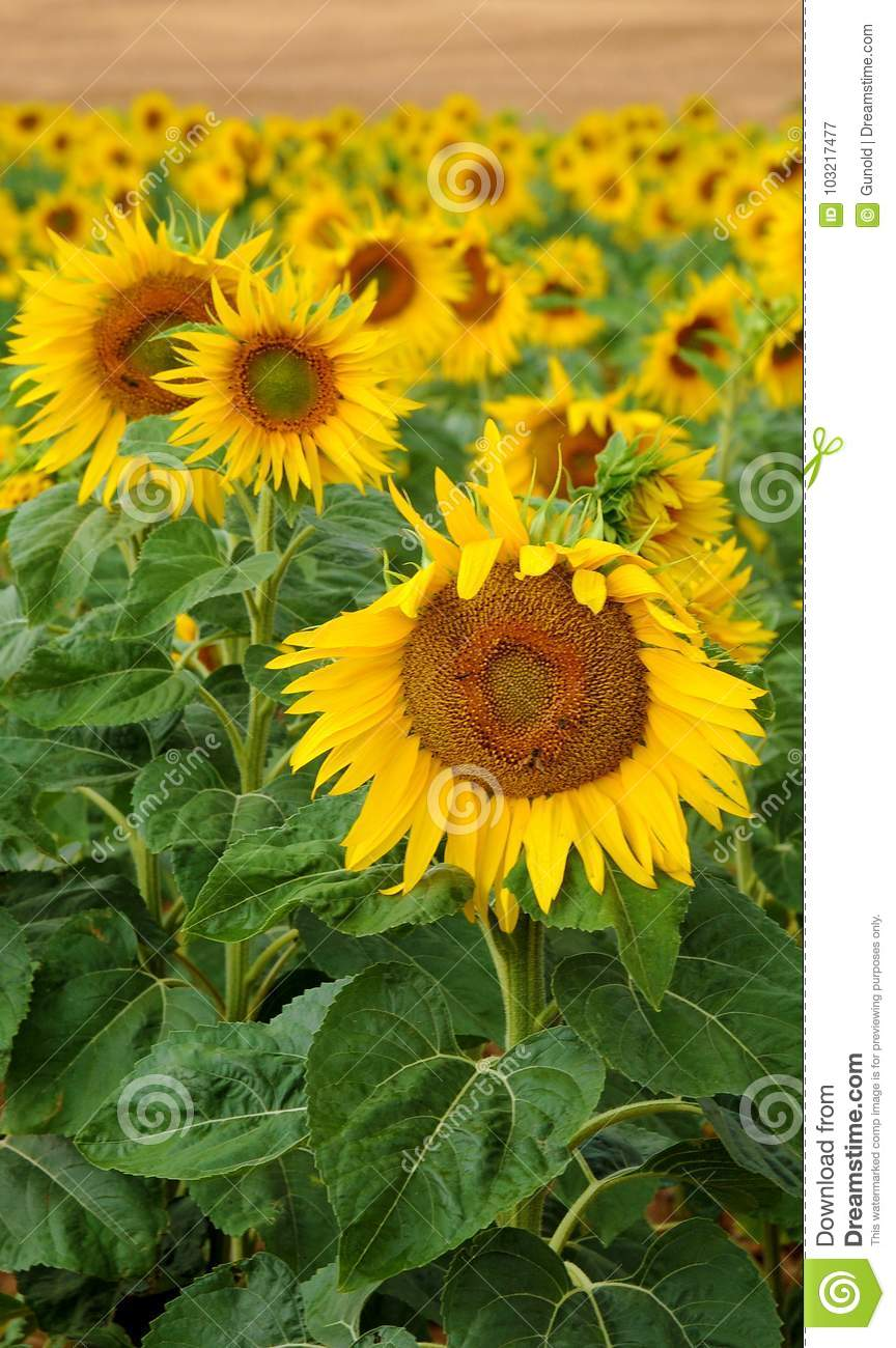 Field With Beautiful Sunflowers In Provence France Ideal For Your Mobile Cell Phone Wallpaper Or Screen Saver