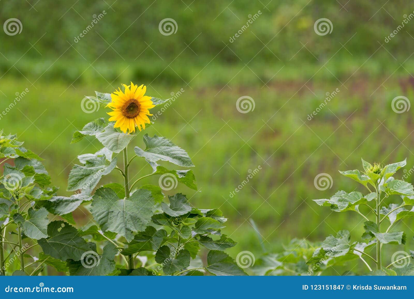 Sunflowers field with single flower