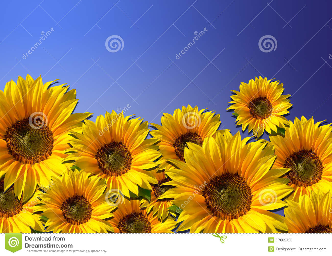 Sunflowers flower background with blue sky stock photo image