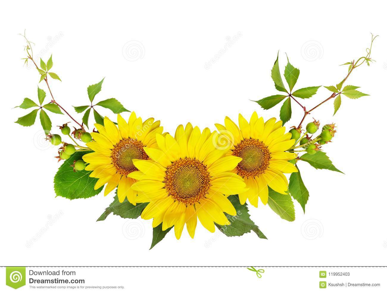 Sunflowers, green berries and leaves of wild grape in a summer a