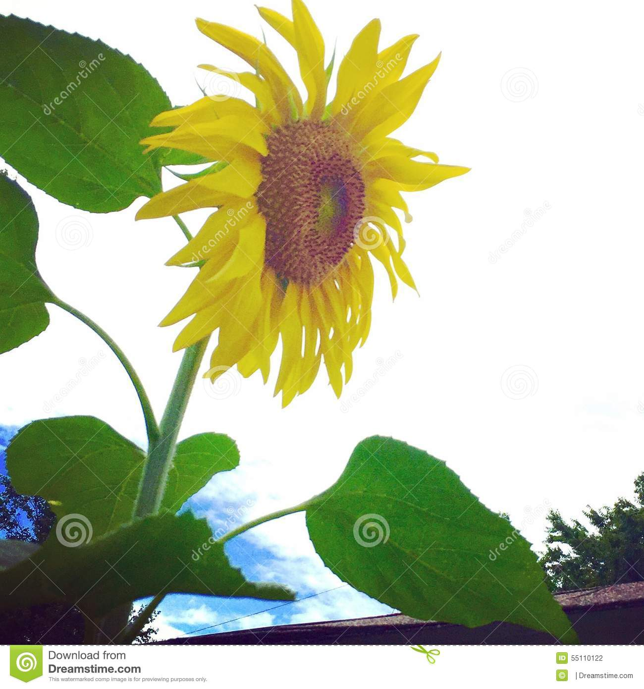 how to grow a miniarure sunflower
