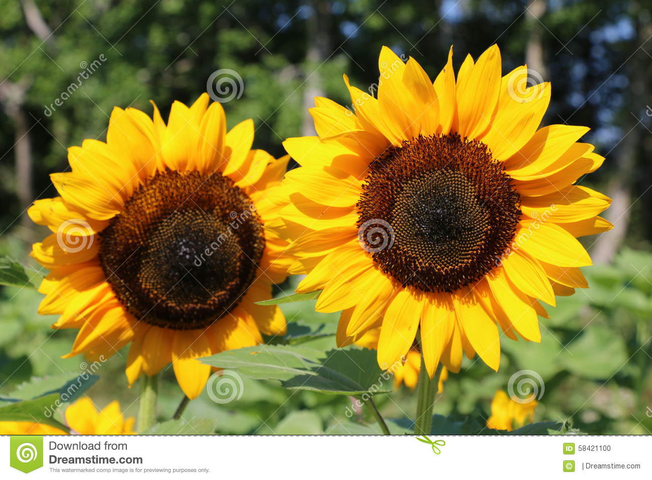 Download Sunflowers stock photo. Image of sunflowers, field, plants - 58421100