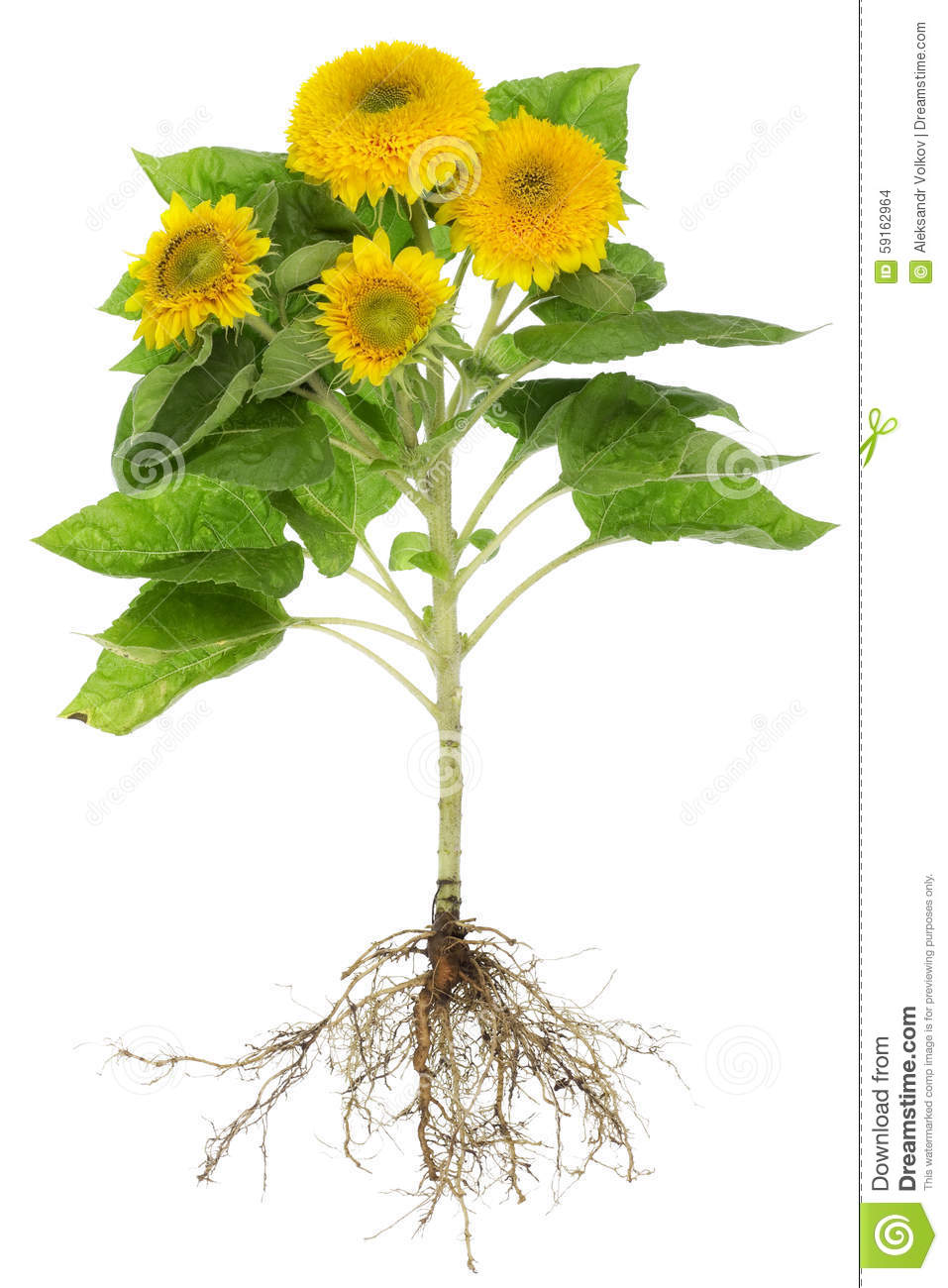 sunflowers roots isolated stock photo image of natural 59162964