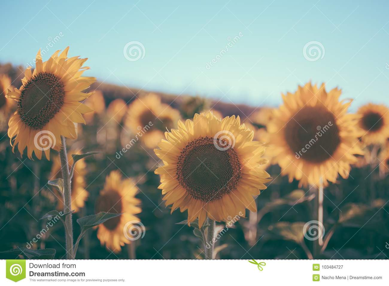 Download Sunflowers Texture And Background For Designers Field In Vintage Style Macro