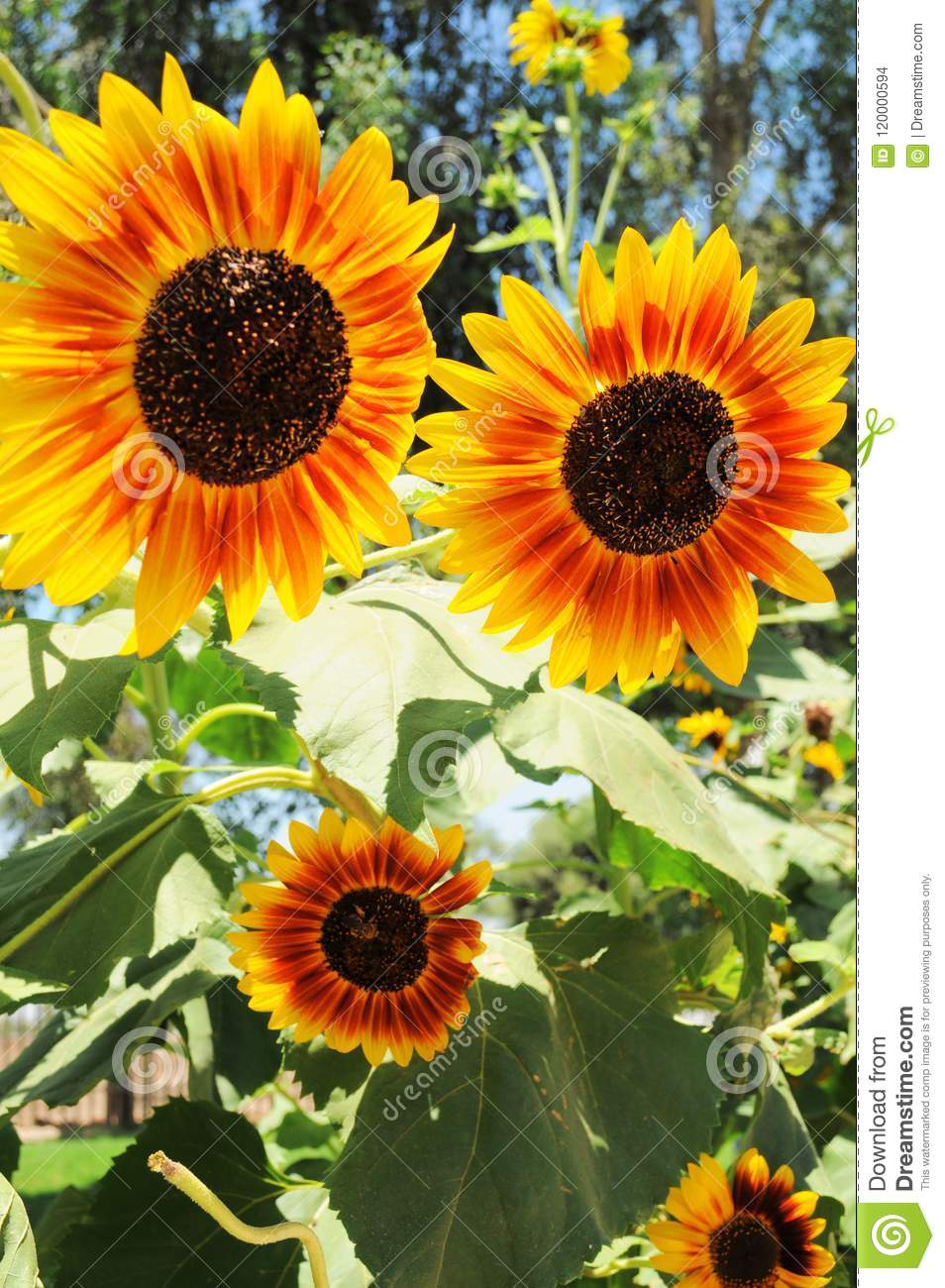 Big contrasted sunflowers background, beautiful natural flowers so colorful standing out in the sun