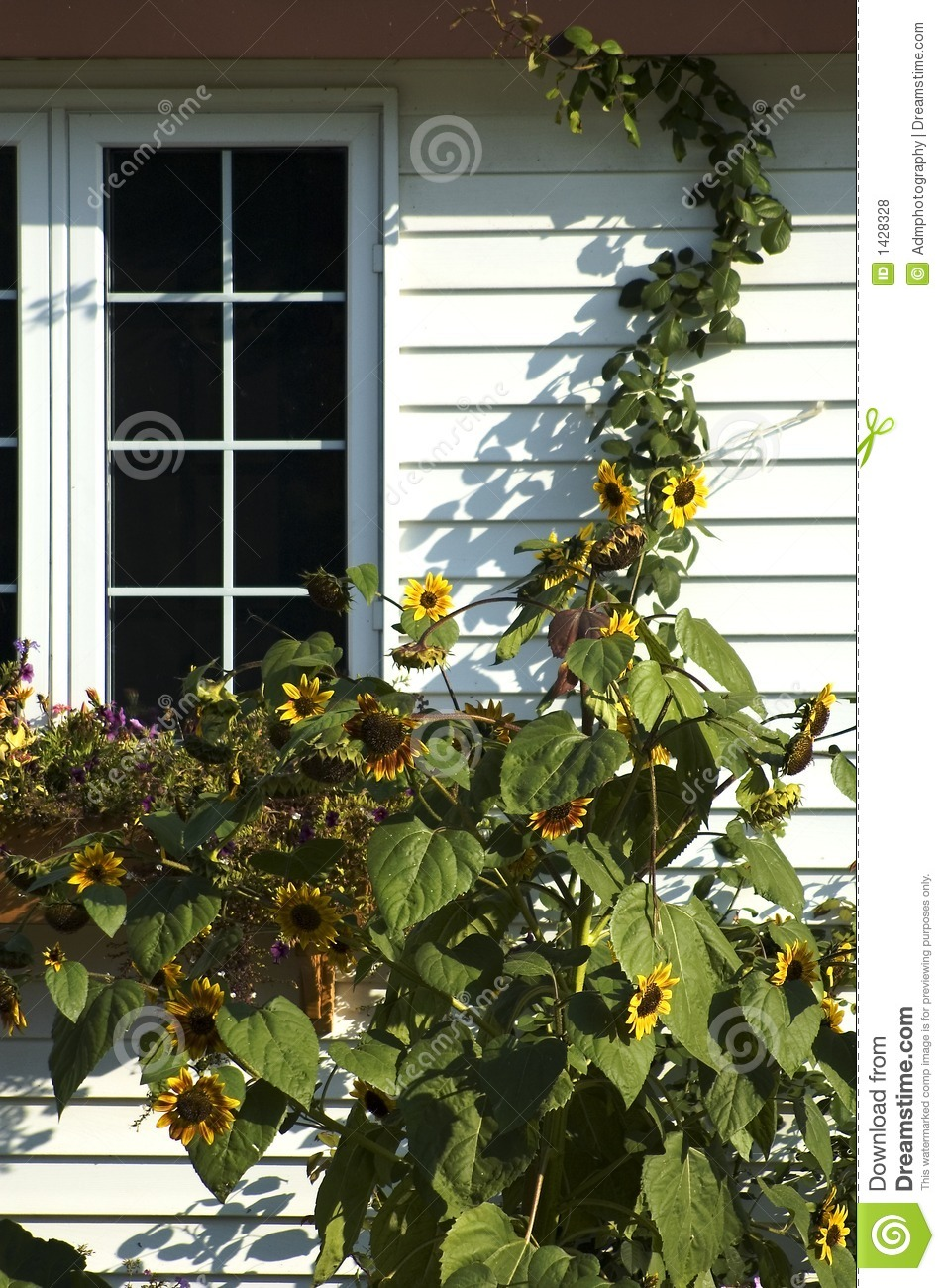Download Sunflowers and window stock photo. Image of window, panes - 1428328