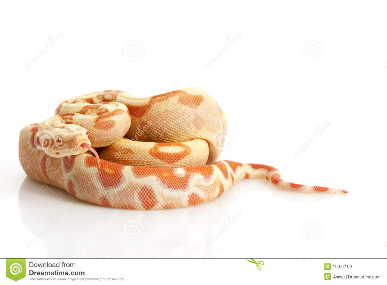 Sunglow Columbian Red-tailed Boa