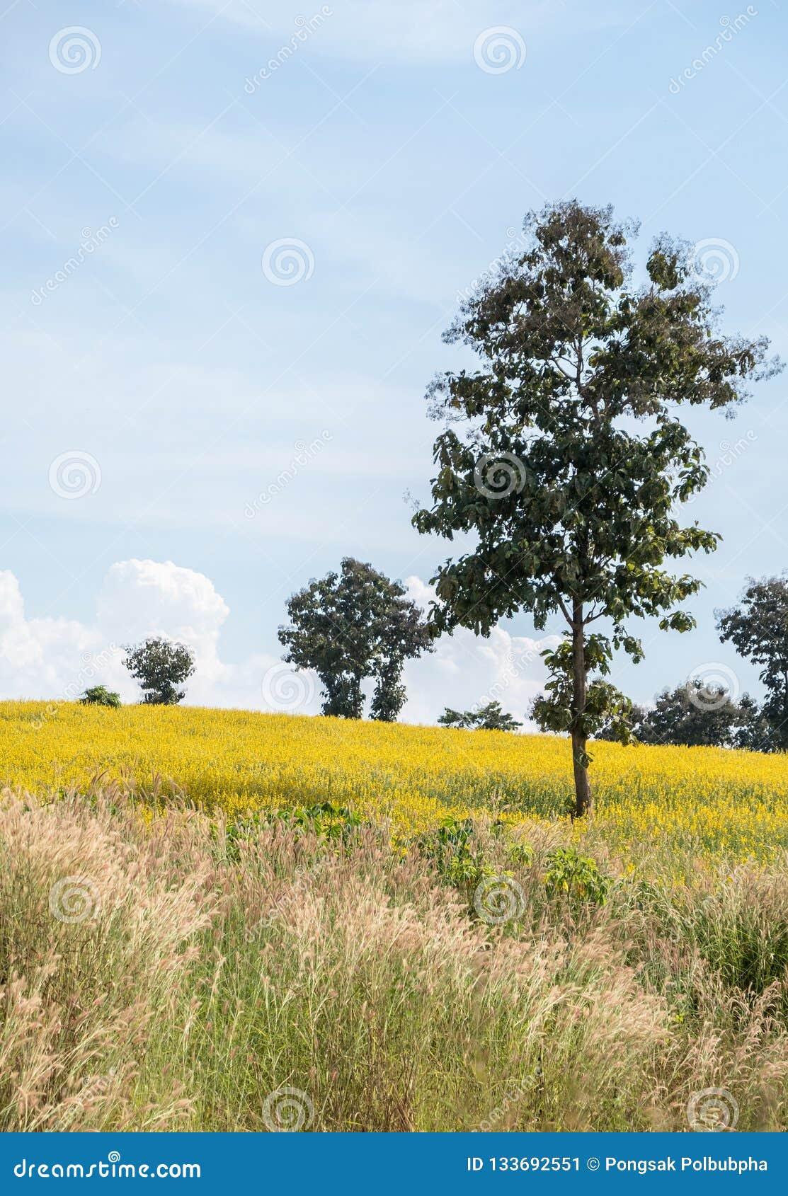 Sunhemp junceagebied van Crotalaria op de heuvel