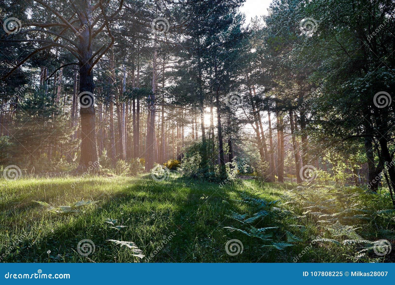 Sunlight breaking through tree trunks
