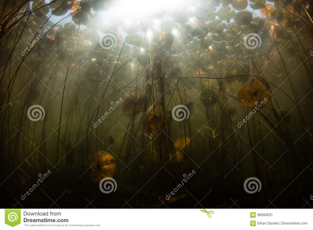 Sunlight and Lily Pads Underwater in New England Lake