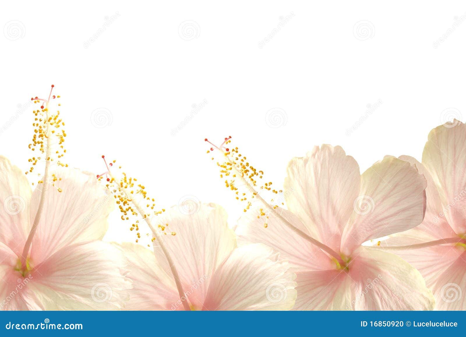 Sunlight pink hibiscus flower border background