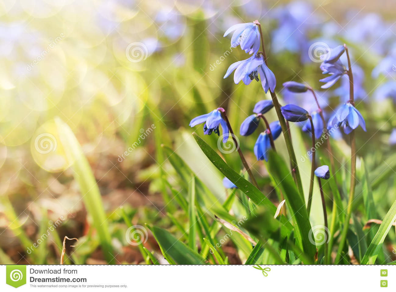 Sunlight And Rays On Blue First Flower In Spring Stock Image Image