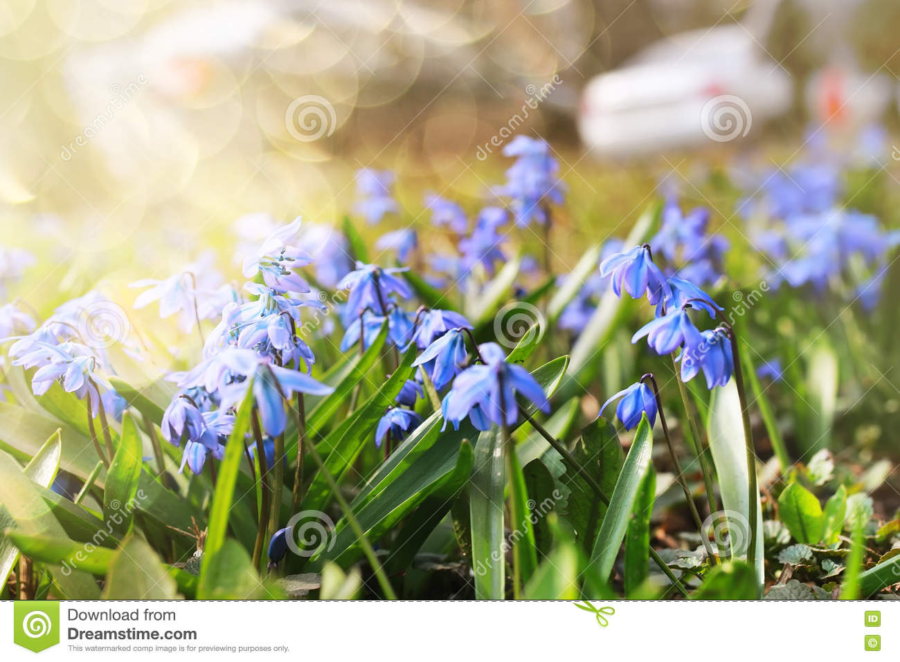 Sunlight And Rays On Blue First Flower In Spring Stock Photo Image