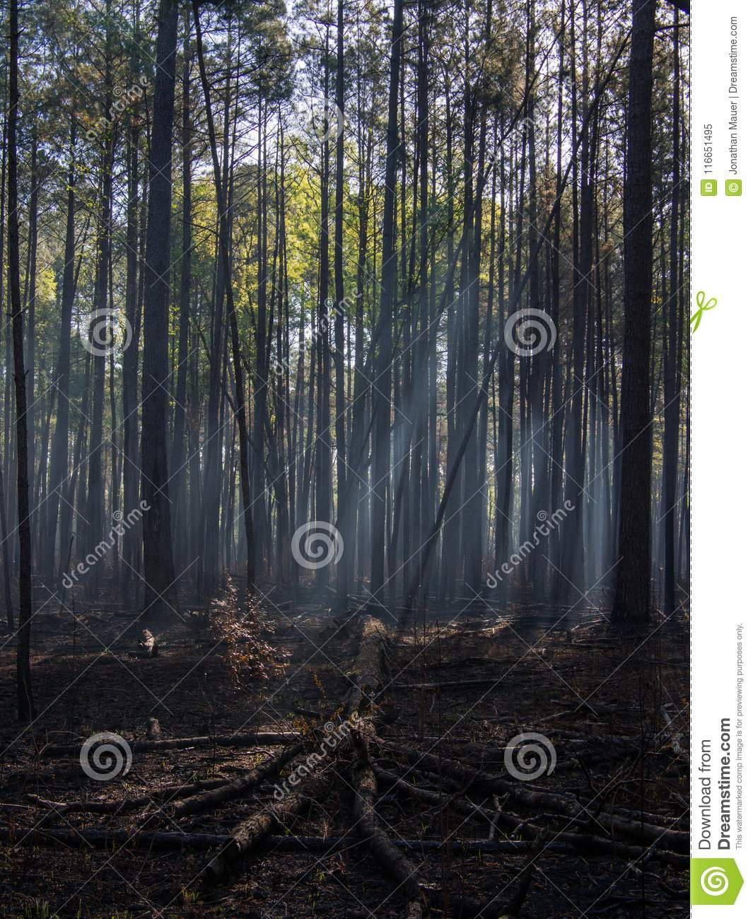 Sunlight Through the Trees of a Charred Forest after Controlled Burn