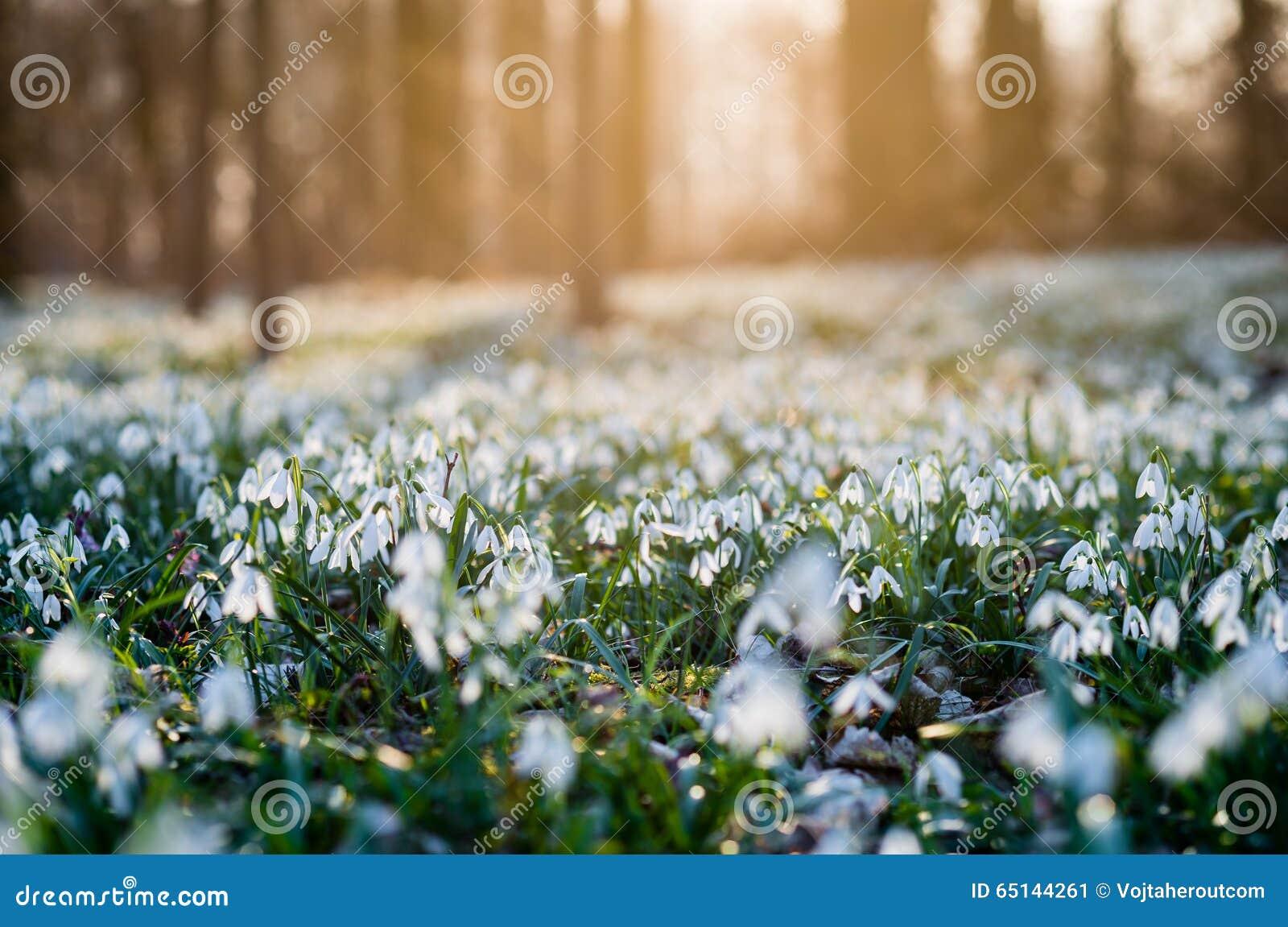 Sunlit лес вполне snowdrop цветет весной сезон