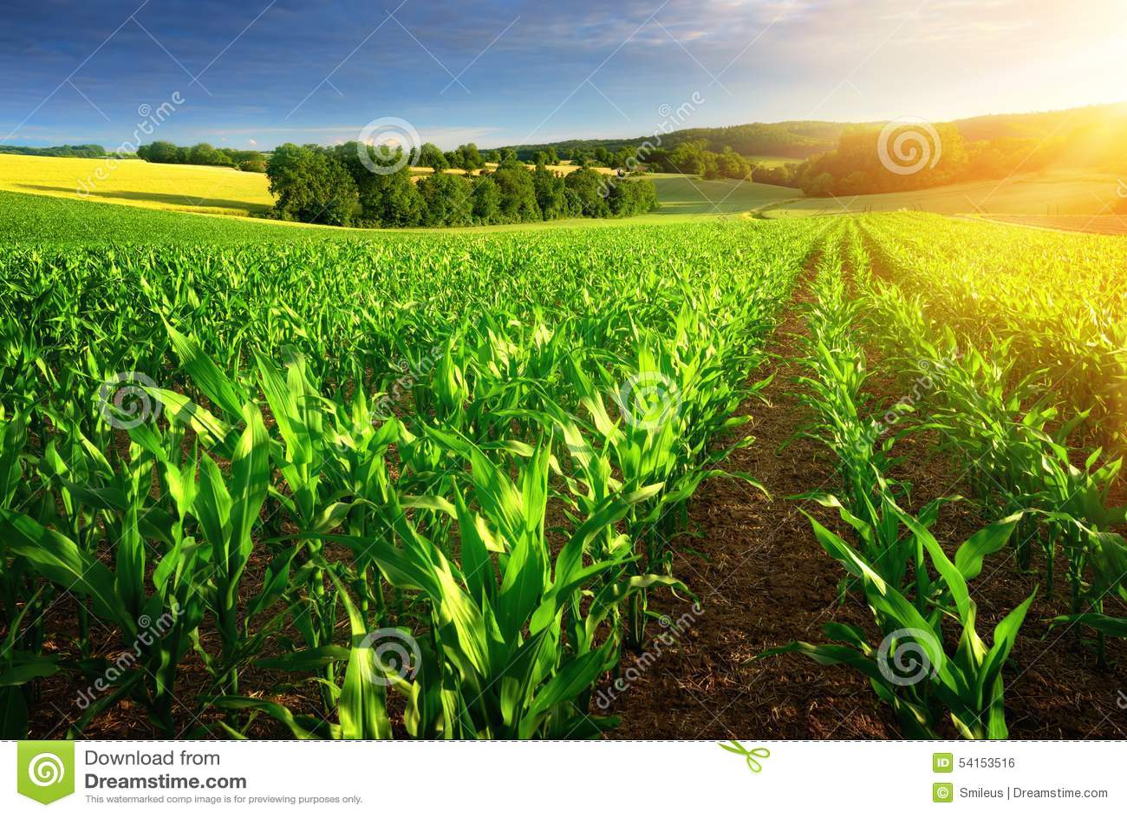 Sunlit rows of corn plants