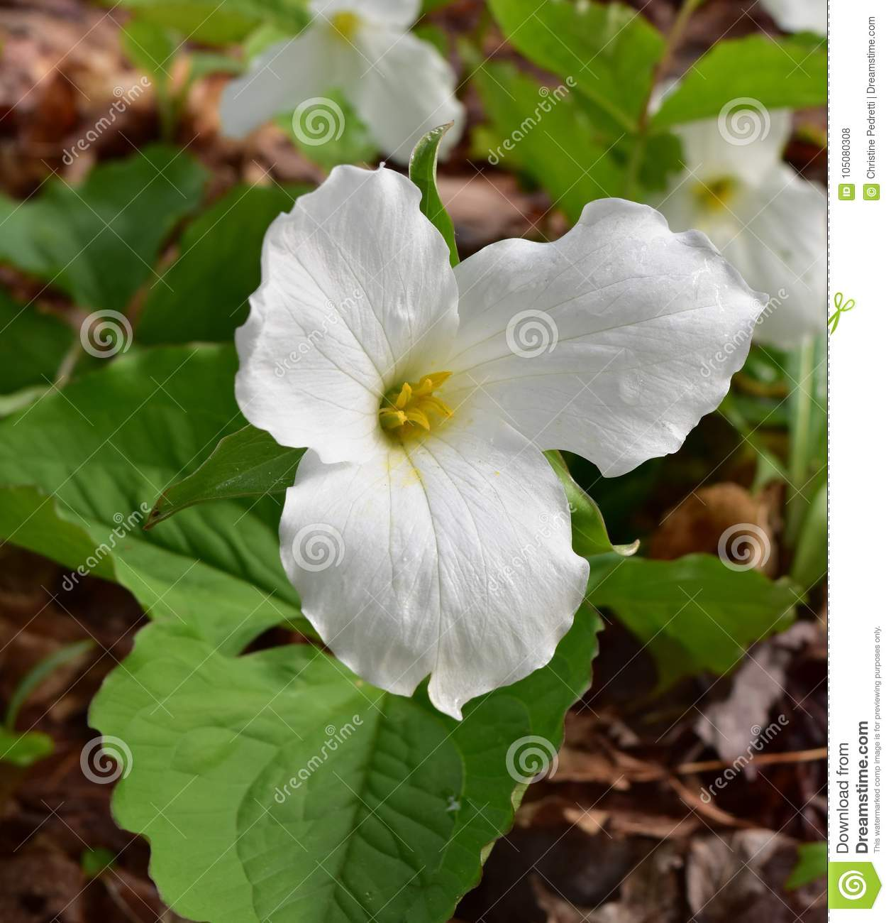 White Trillium Flower Speckled With Dew Stock Photo Image Of White