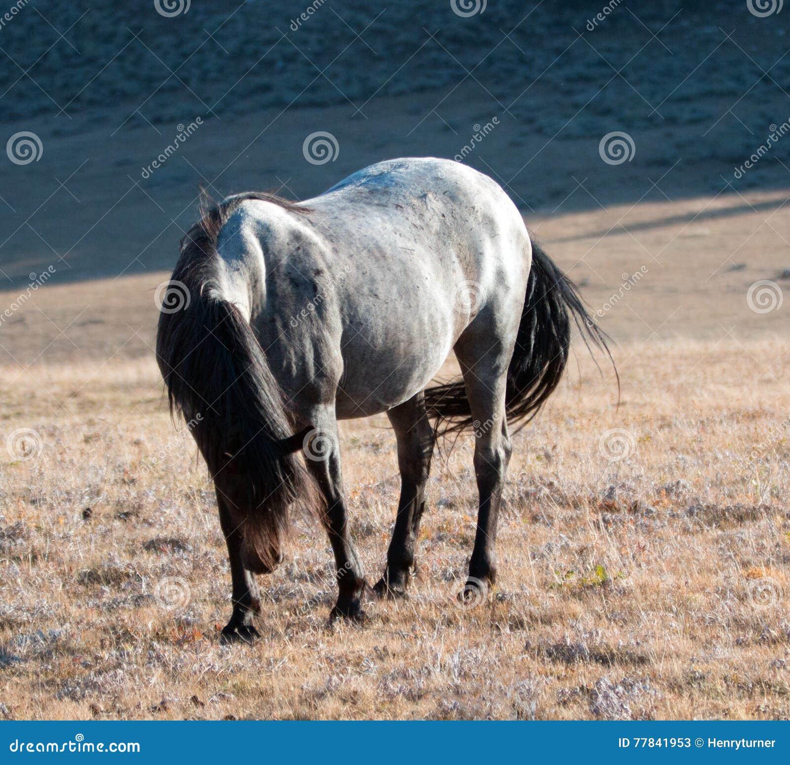 Sunlit Wild Horse Blue Roan Colored Band Stallion On Sykes Ridge ...