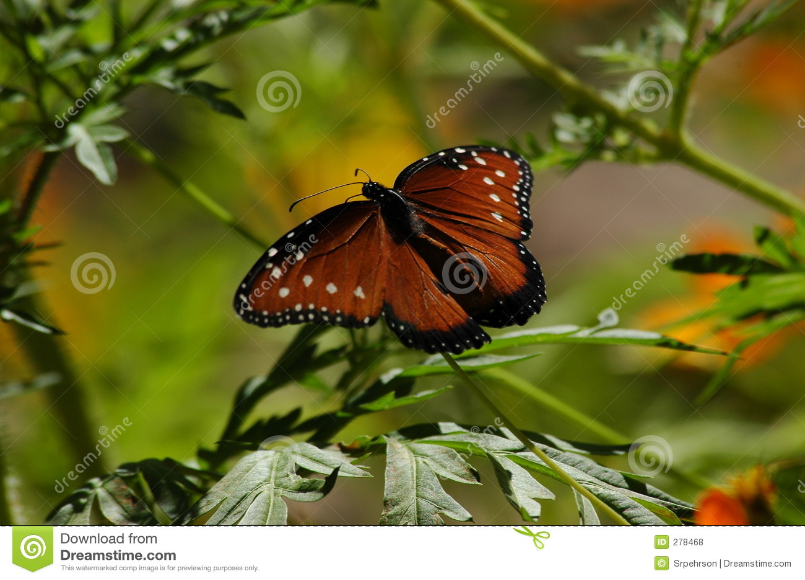Sunning för fjäril