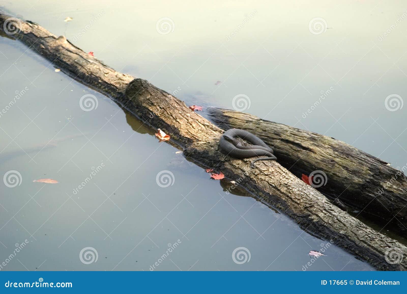 Sunning on a log
