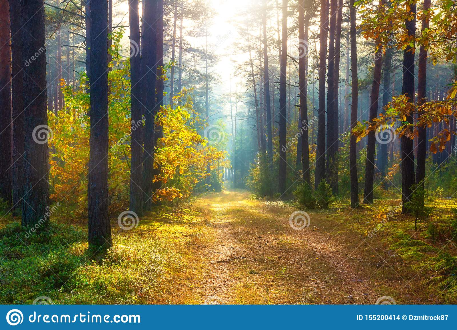 Sunny autumn forest. Scenery forest. Fall. Trees in sunlight. Autumn nature landscape