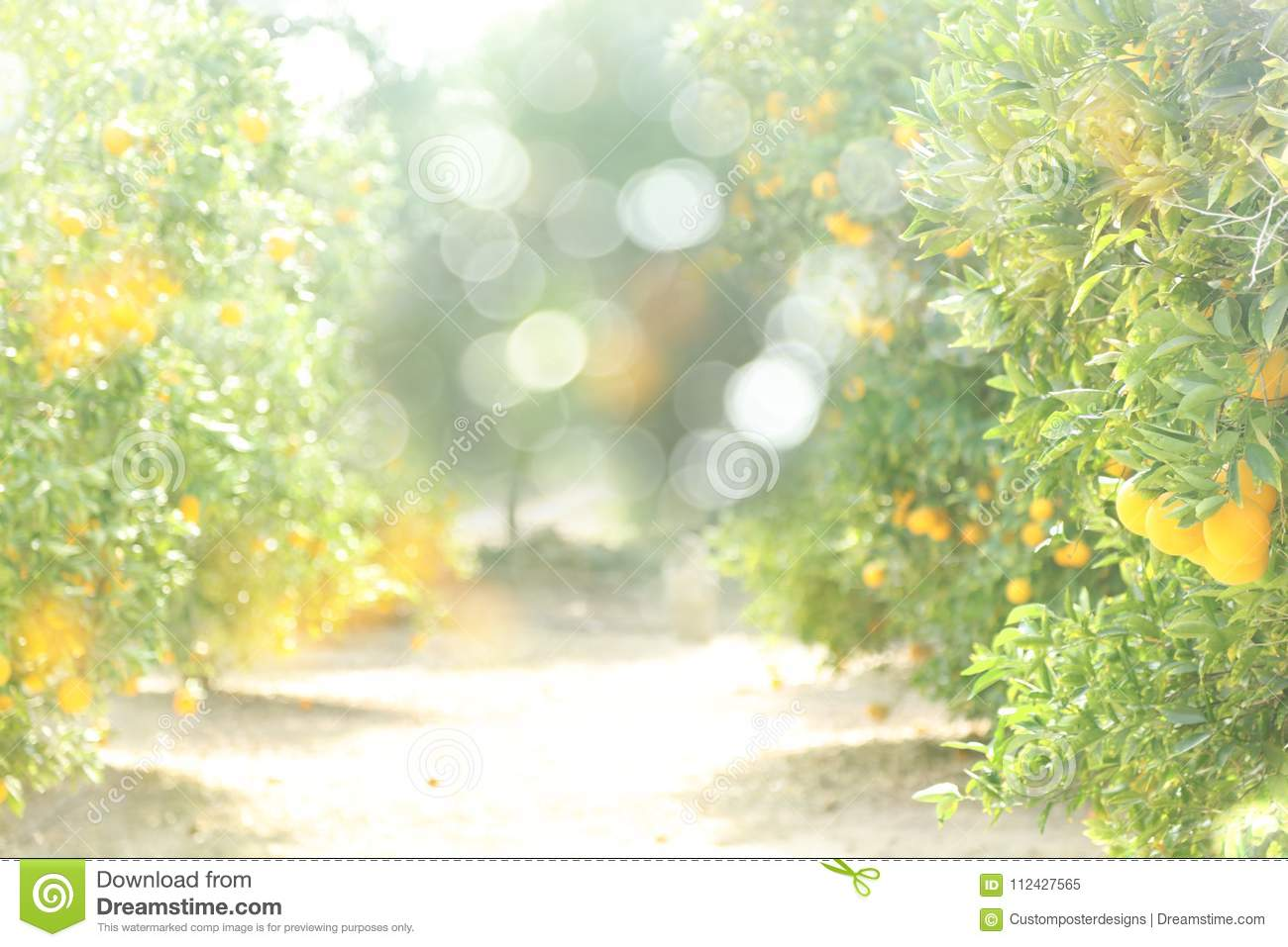 Download A Sunny Blurred Background Of An Orange Orchard. Stock Image - Image of grow, juicy: 112427565