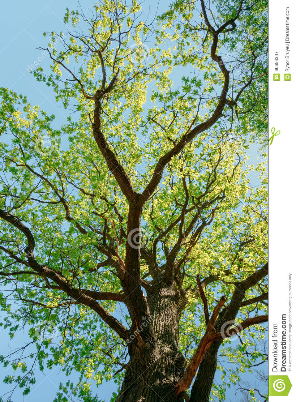 Sunny canopy of tall trees sunlight in deciduous stock for Canopy of trees