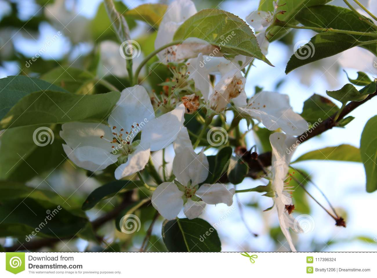 Apple tree branches in sun and shade, covered with blossoms