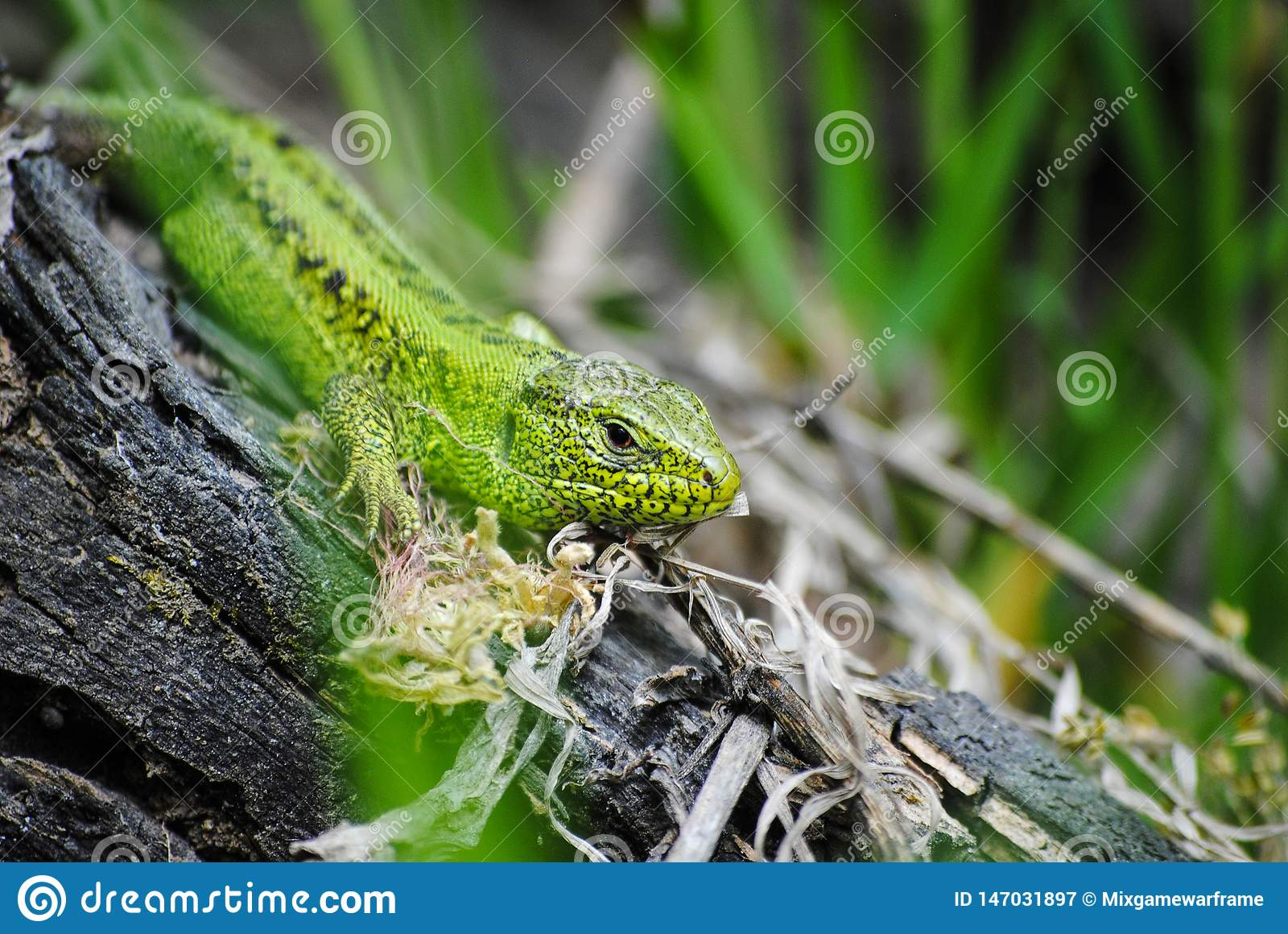 Green lizard in natural conditions