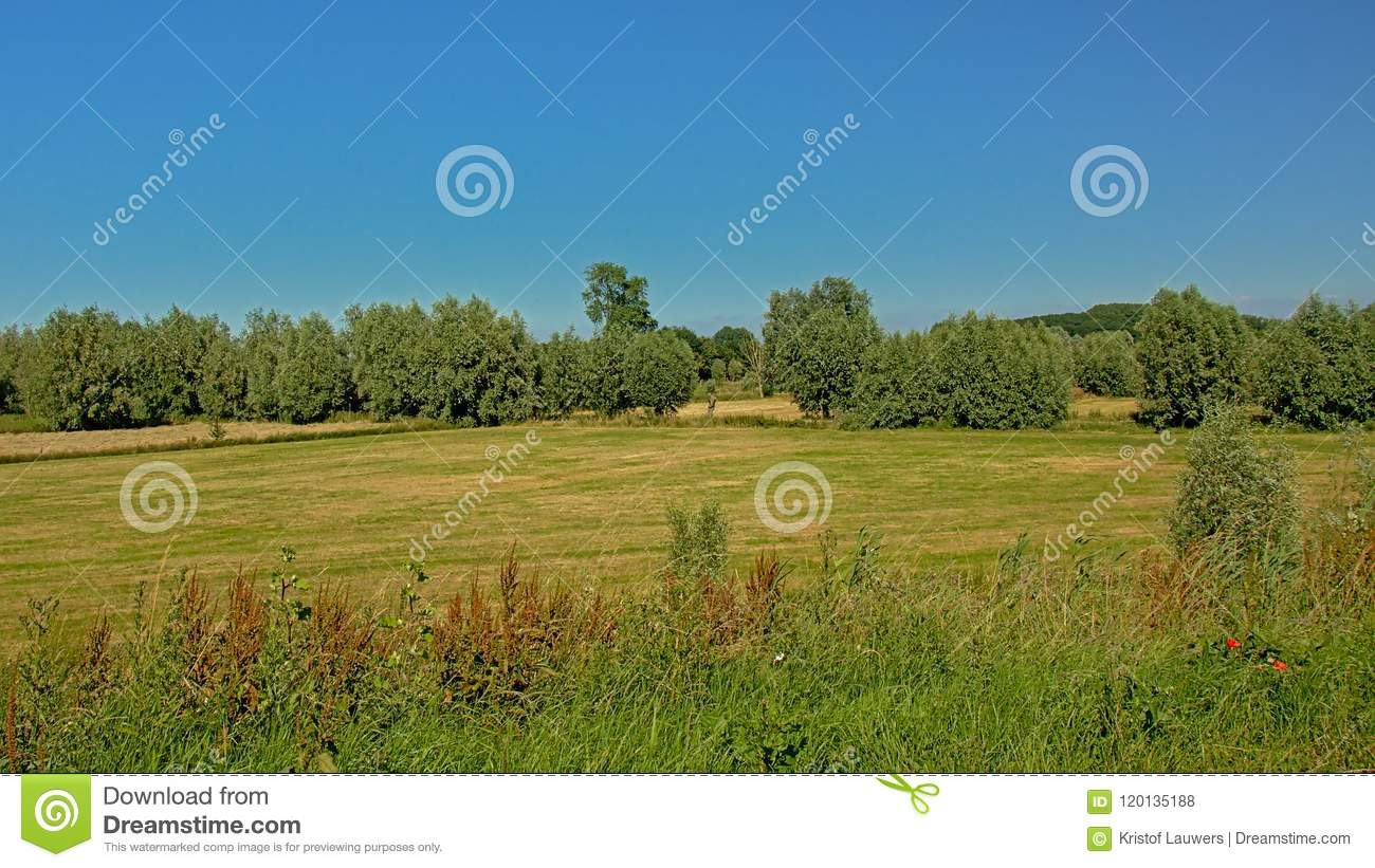 Sunny farmland with reed and trees under a clear blue sky in Kalkense Meersen nature reserve, Flanders, Belgium.