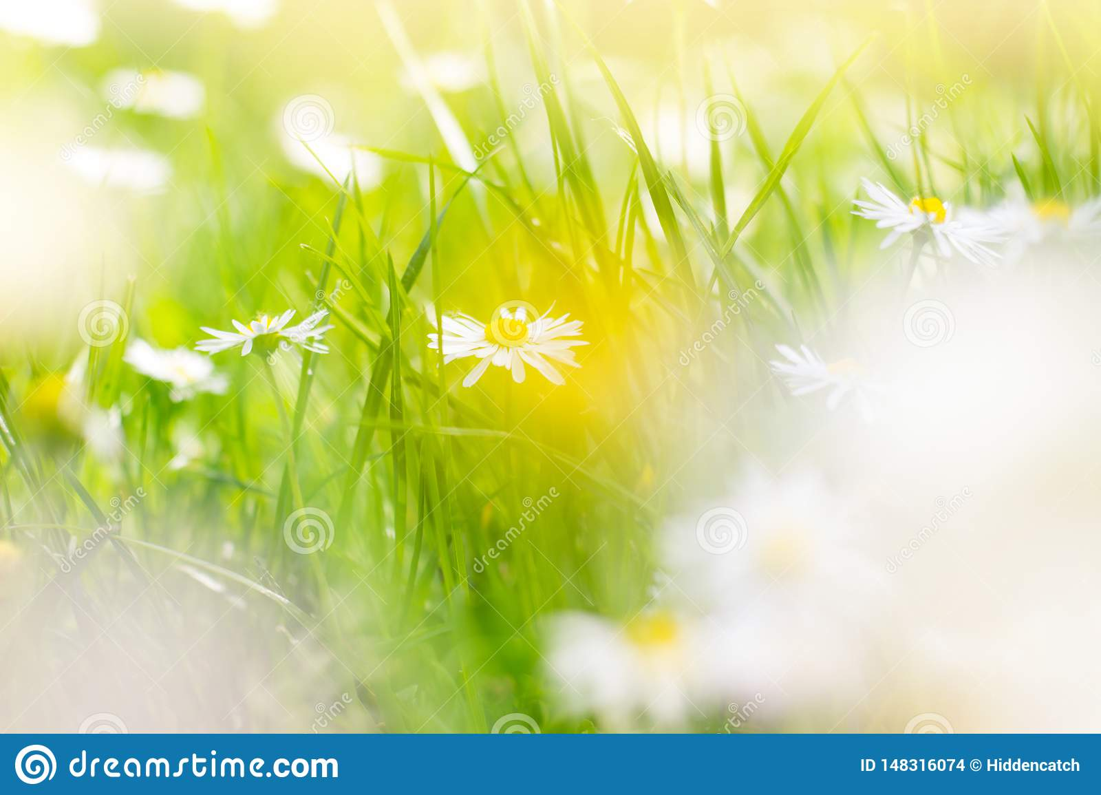 Sunny field of daisies; spring background