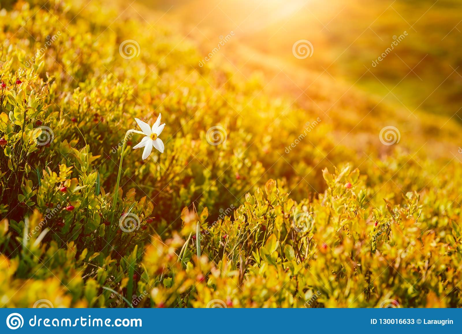 Sunny Mountain Slope With Single White Flower Of Wild Narcissus