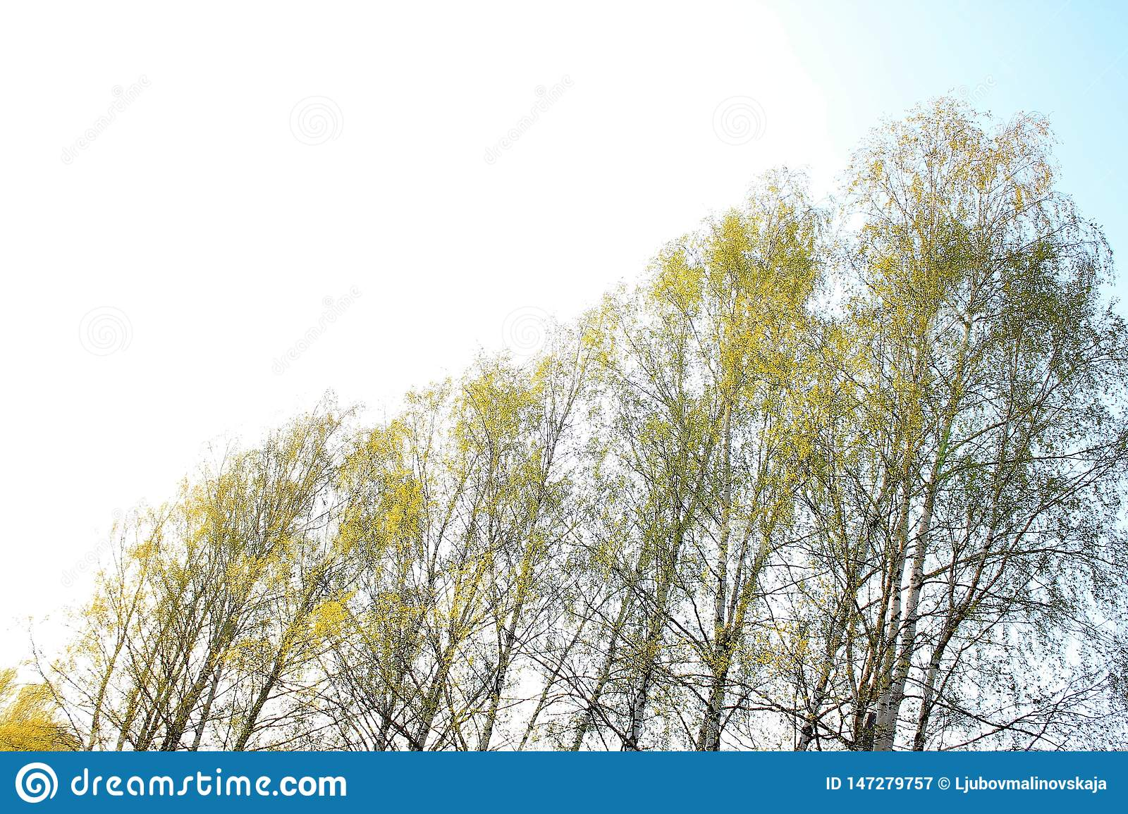 Sunny spring sky and birches.