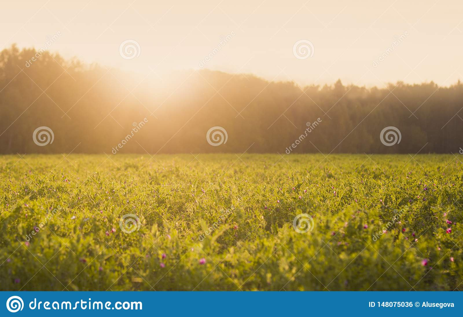Sunny summer meadow with green grass and little flowers at sunset