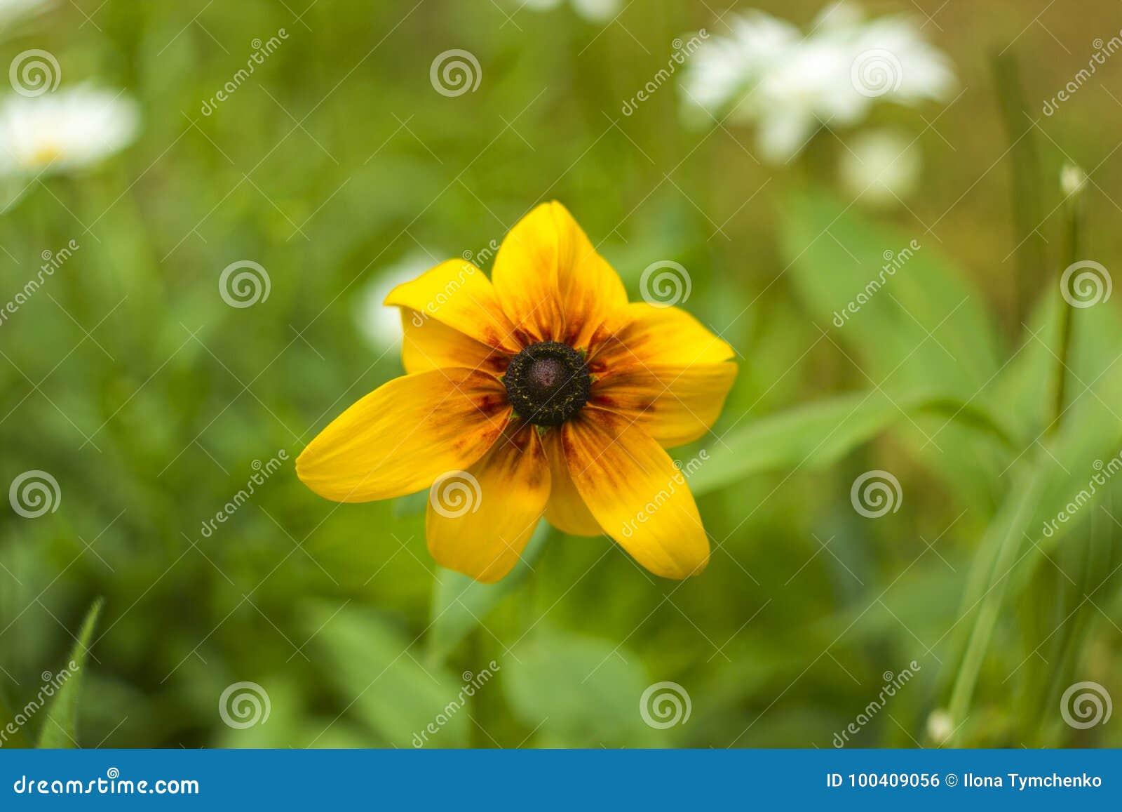 Sunny Yellow Flower Rudbeckia In Summer Garden Flowerbed Stock Photo