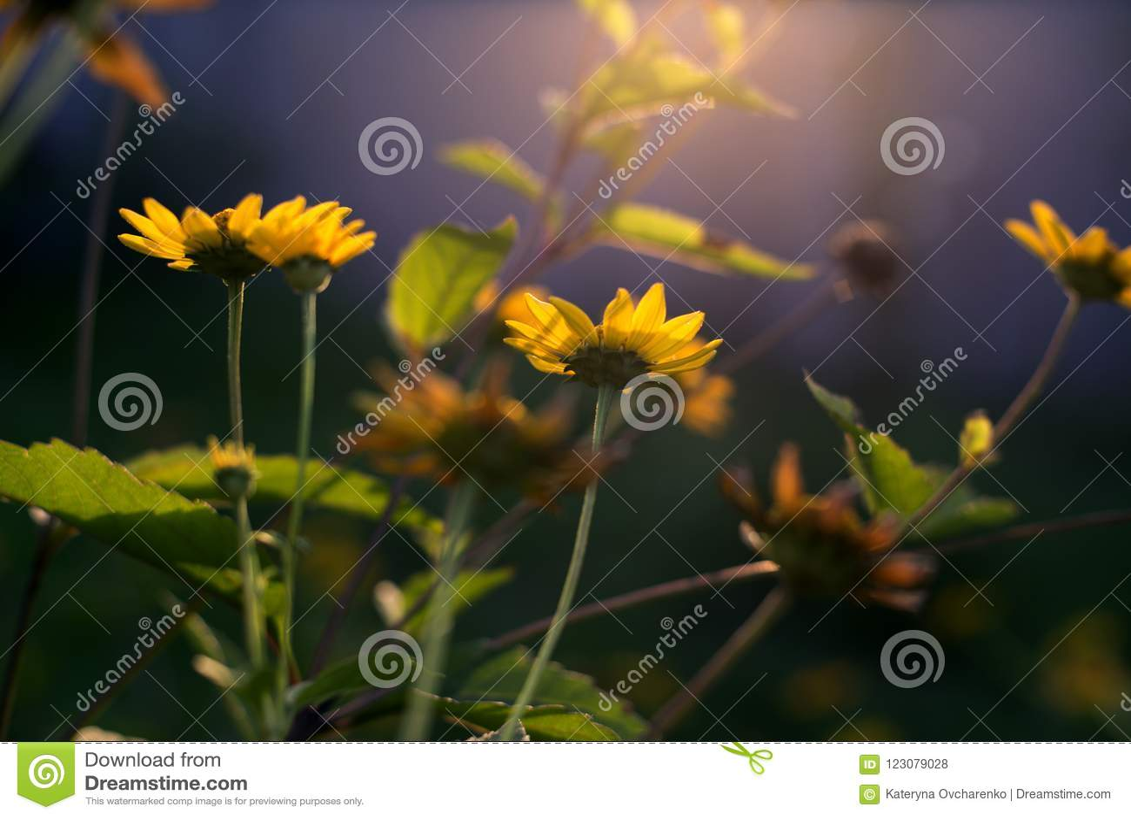 Sunny Yellow Flowers Background Stock Photo Image Of Grow Closeup
