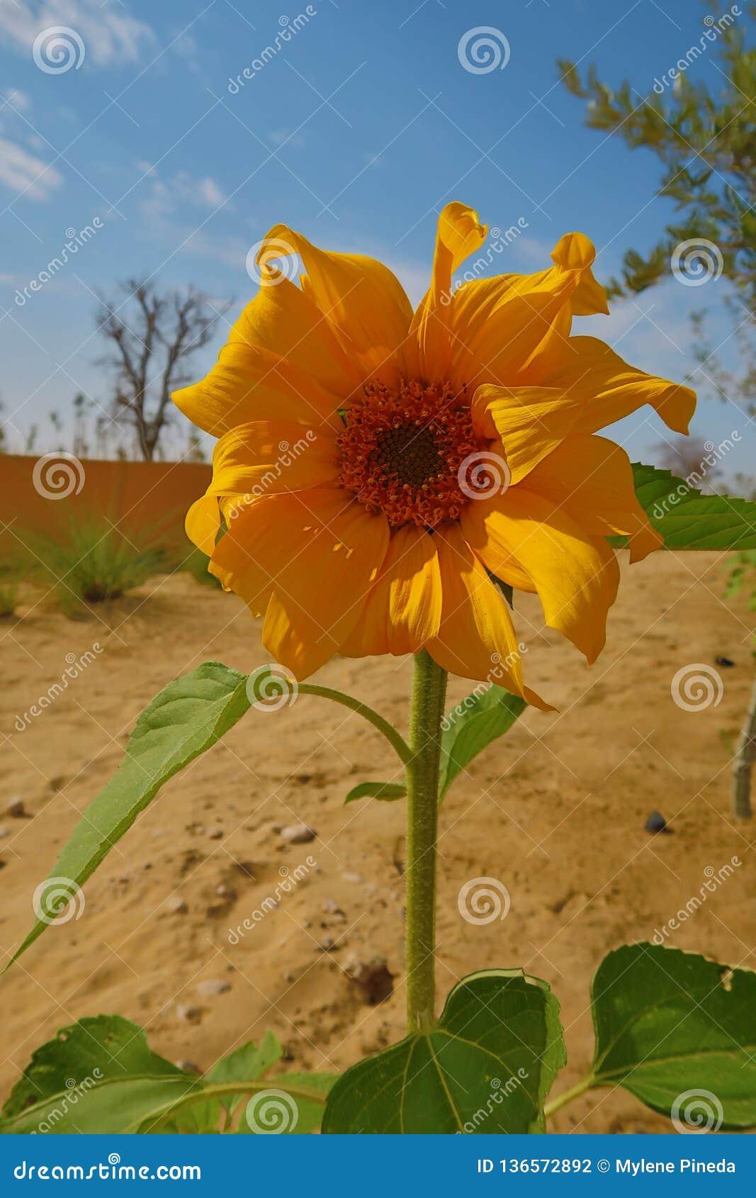 Sunny Yellow Gerbera Daisy