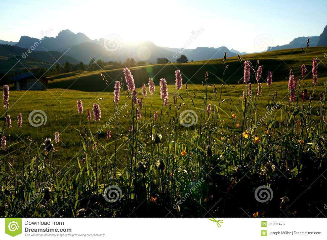 Sunrise on alp in the dolomites with beautiful flowers / alp de siusi in gardena valley
